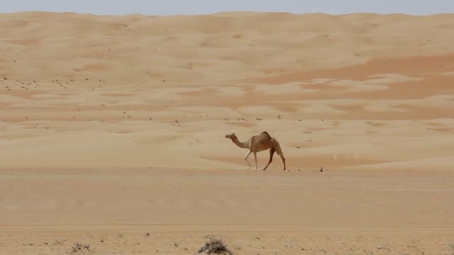 ms shot of camel walking in wahabi sands at oman / countryside, ireland - camel stock videos & royalty-free footage