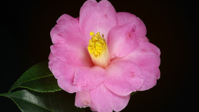 CU T/L Shot of Camellia flowering flower opens in studio from bud stamens emerge with dark green waxy leaves on black background / London, Greater London, United Kingdom