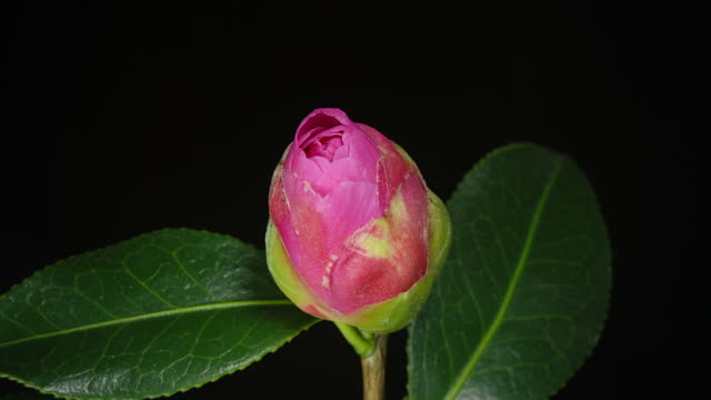 CU ZI T/L Shot of Camellia flowering flower opens in studio from bud stamens emerge with dark green waxy leaves on black background / London, Greater London, United Kingdom