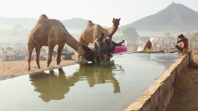 ms shot of camels drinking water at fair / pushkar, rajasthan, india - ラクダ点の映像素材/bロール
