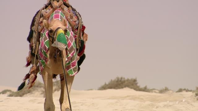 ms tu shot of camels standing on beach / doha, qatar  - doha stock videos & royalty-free footage