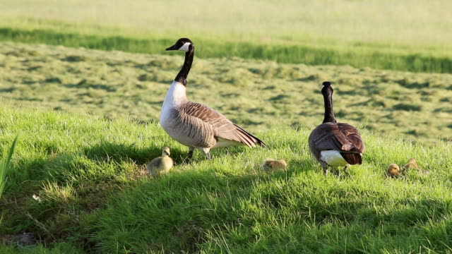 ms shot of canada goose (branta canadensis) with chicken / leidschendam, south holland, netherlands - canada goose stock videos & royalty-free footage