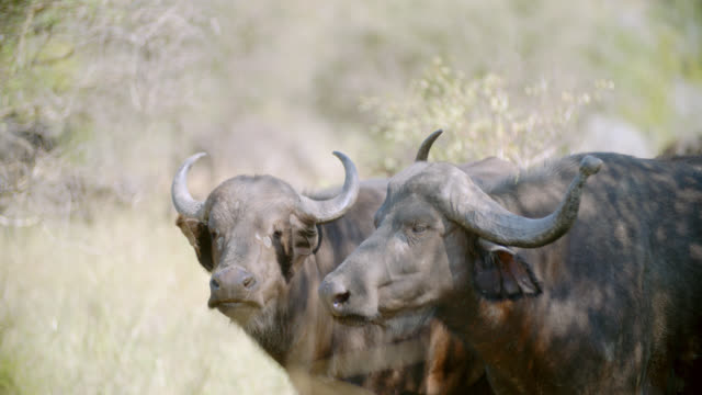 CU R/F Shot of Cape buffaloes (Syncerus caffer) in savannah / Kruger National Park, Mpumalanga, South Africa