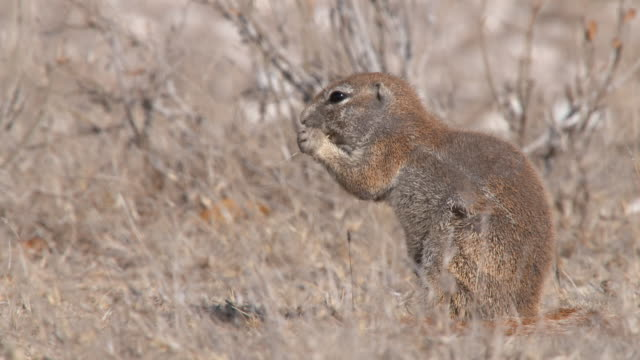 CU TS Shot of Cape ground squirrel foraging and eating   / Central Kalahari Game Reserve, Botswana