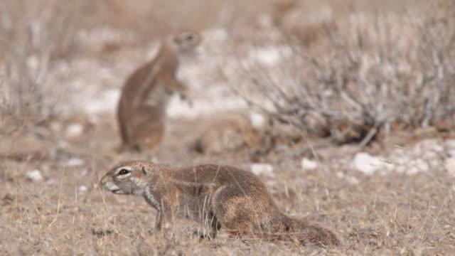 MS R/F Shot of Cape ground squirrels foraging  / Central Kalahari Game Reserve, Botswana