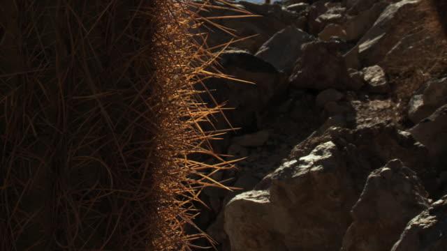 ecu tu shot of cardon grande cactus, echinopsis species atacamensis in atacama desert / san pedro de atacama, norte grande, chile - barrel cactus stock videos and b-roll footage