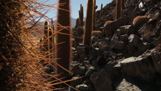 CU TU Shot of Cardon Grande Cactus, Echinopsis species in Atacama desert / San Pedro de Atacama, Norte Grande, Chile