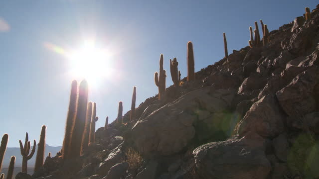ms pan shot of cardon grande cactus, echinopsis species pan to reveal pampas grass at sunrise / san pedro de atacama, norte grande, chile - cactus stock videos & royalty-free footage