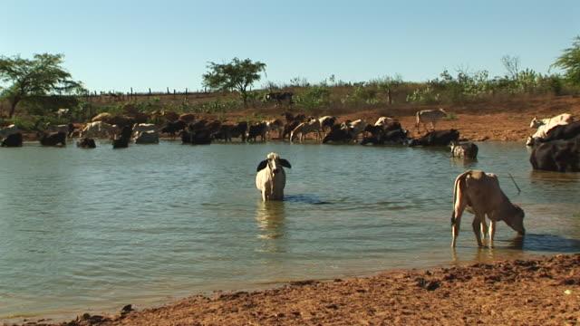 MS ZO Shot of cattle drinking water from lake / Jacobina, Bahia, Brazil