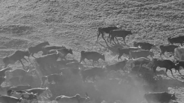 ms ts shot of cattle drive with couple of guys on horseback - cattle drive stock videos & royalty-free footage