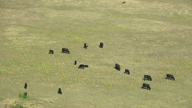 ms ds aerial shot of cattle grazing on grass and sun shining in boulder county / colorado, united states - boulder stock videos & royalty-free footage