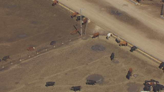 ms aerial shot of cattle in feedlot and at troughs / lexington, nebraska, united states - rind stock-videos und b-roll-filmmaterial