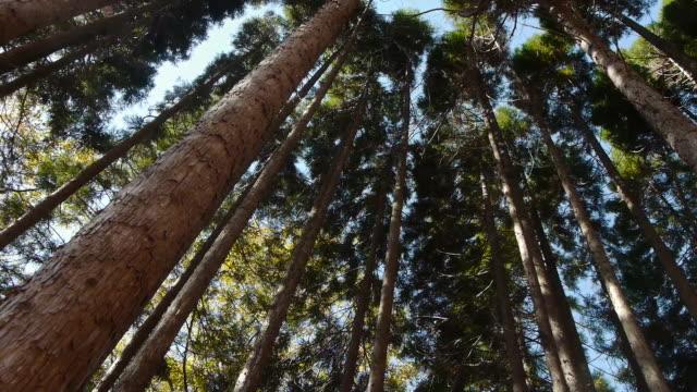 shot of cedar trees canopy in naejangsan mountain - cedar stock videos & royalty-free footage