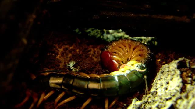 shot of centipede holding it's eggs - hundertfüßer stock-videos und b-roll-filmmaterial