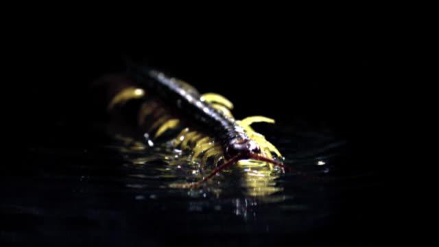 shot of centipede walking on water - hundertfüßer stock-videos und b-roll-filmmaterial
