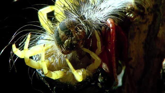 shot of centipedes eating caterpillar - hundertfüßer stock-videos und b-roll-filmmaterial