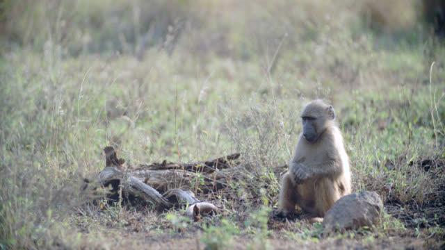 ms shot of chacma baboon (papio ursinus) eating fruit / kruger national park, mpumalanga, south africa - krüger nationalpark stock-videos und b-roll-filmmaterial
