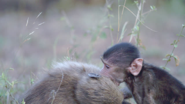 cu r/f shot of chacma baboon (papio ursinus) playing with young baboon / kruger national park, mpumalanga, south africa - krüger nationalpark stock-videos und b-roll-filmmaterial