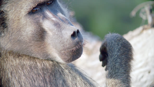 ecu shot of chacma baboon (papio ursinus) scratching mouth / kruger national park, mpumalanga, south africa - krüger nationalpark stock-videos und b-roll-filmmaterial