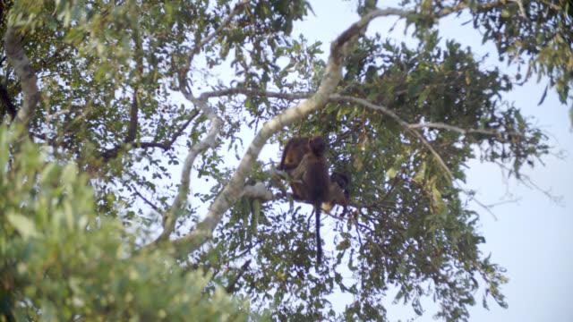 ms td shot of chacma baboons (papio ursinus) climbing tree / kruger national park, mpumalanga, south africa - krüger nationalpark stock-videos und b-roll-filmmaterial