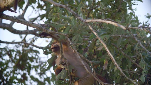 cu shot of chacma baboons (papio ursinus) climbing tree / kruger national park, mpumalanga, south africa - krüger nationalpark stock-videos und b-roll-filmmaterial