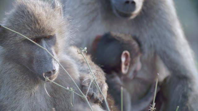 ecu r/f shot of chacma baboons (papio ursinus) scratching / kruger national park, mpumalanga, south africa - krüger nationalpark stock-videos und b-roll-filmmaterial