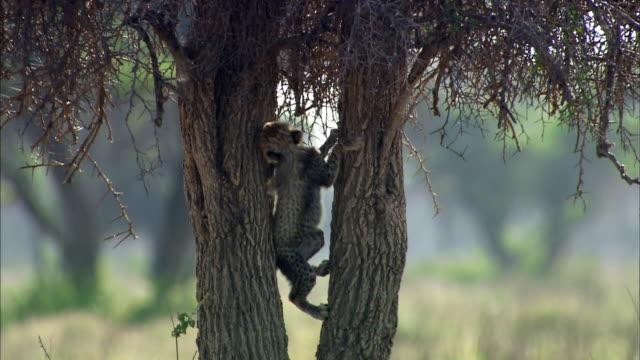 Shot of Cheetah cub climbing tree