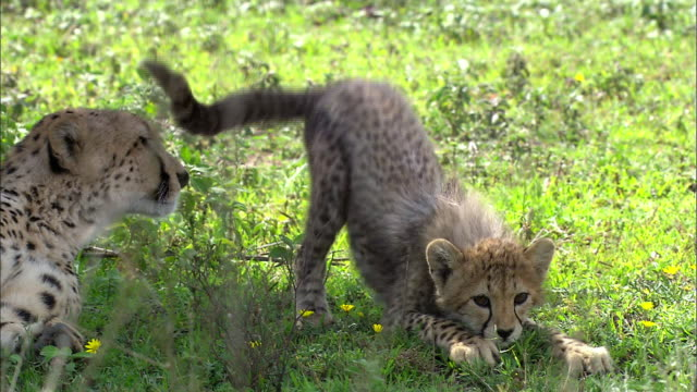 Shot of Cheetah cub stretching