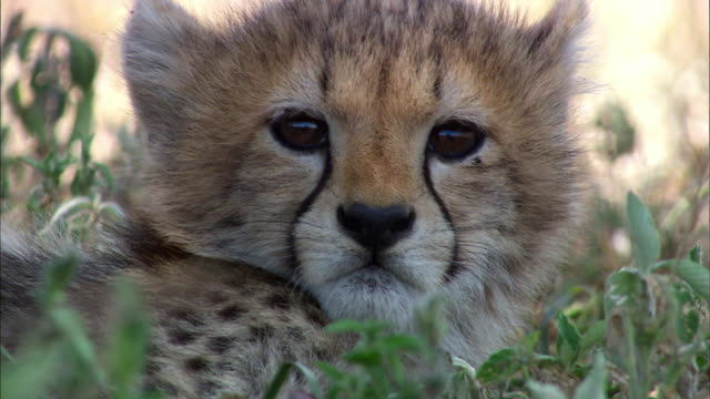 Shot of Cheetah Cub