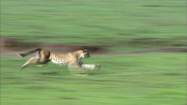 shot of cheetah hunting gazelle - chasing stock videos and b-roll footage
