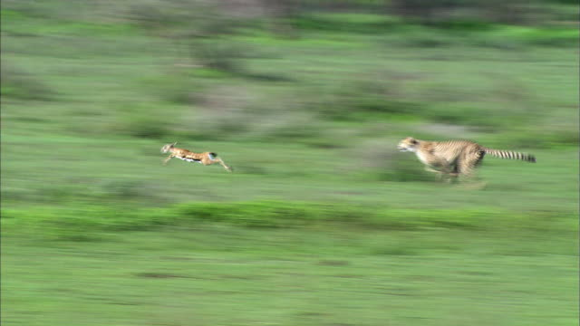 shot of cheetah hunting gazelle - cheetah stock videos and b-roll footage