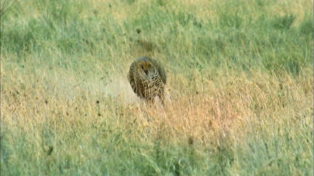 Shot of Cheetah hunting Gazelle