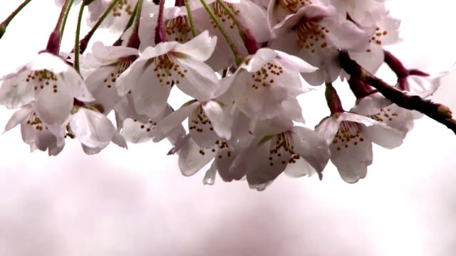 Shot of Cherry Blossom on Rainy day