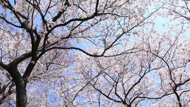 ms shot of cherry blossom / setagaya, tokyo, japan   - low angle view stock videos & royalty-free footage