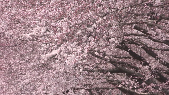 shot of cherry blossom - cherry tree stock videos & royalty-free footage