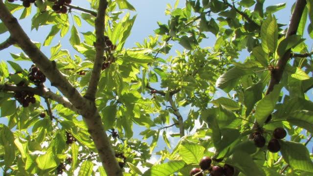 vídeos y material grabado en eventos de stock de ms la td shot of cherry tree with ripe red fruits / troodos, troodos mountains, cyprus - árbol de hoja caduca