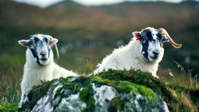 ms shot of chewing scottish sheep / skye island, scotland, united kingdom - scotland stock videos & royalty-free footage