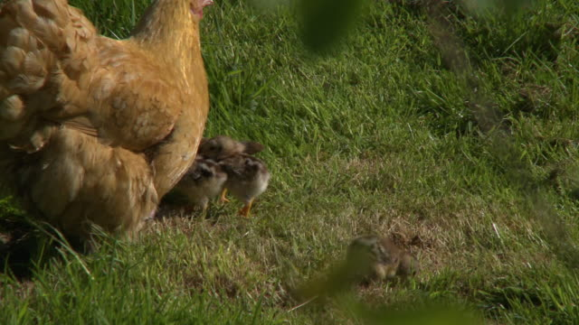 shot of chicken and chicks - claw stock videos & royalty-free footage