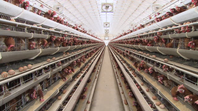 ms shot of chicken farm / anseong, gyeonggi-do, south korea - farm stock videos & royalty-free footage