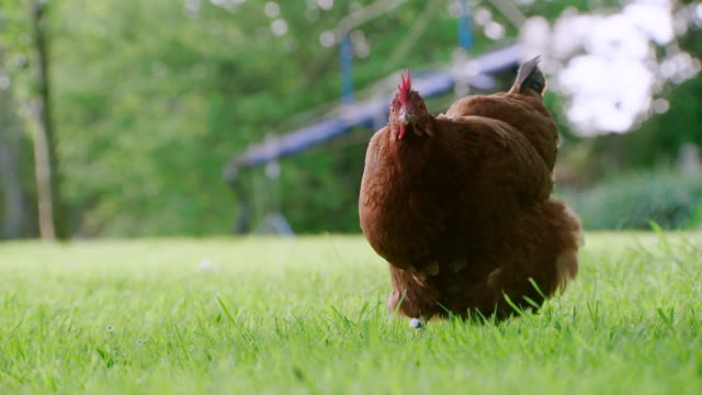 CU SLO MO PAN Shot of chicken foraging in grass / various, United Kingdom