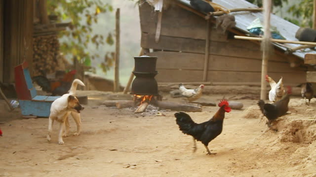 MS SLO MO Shot of Chickens pecking around cooking fire and dog trying to chase them / Muang Ngoi, Luang Prabang, Laos