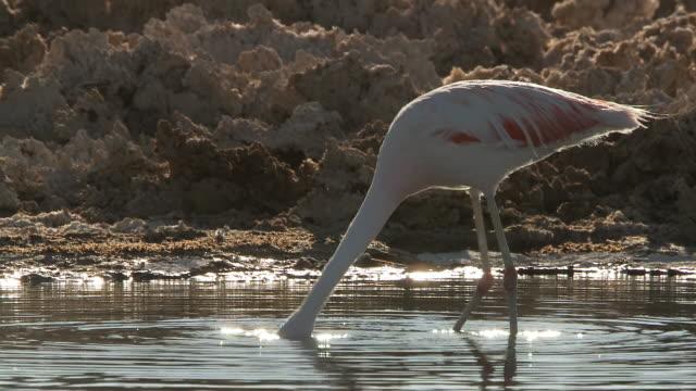 vídeos de stock e filmes b-roll de ms ts shot of chilean flamingo, phoenicopterus chilensis feeding in high altitude salt lake / san pedro de atacama, norte grande, chile - 50 segundos ou mais