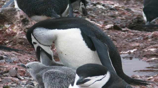 MS ZO Shot of Chinstrap Penguin (Pygoscelis antarctica) Adult with two chicks feeding / Halfmoon Bay, Antarctica