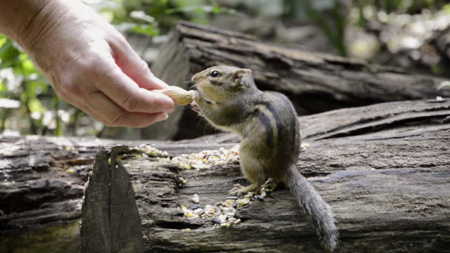 ms shot of chipmunk (tamias striatus) taking peanuts from woman hand and eating / valparaiso, indiana, united states - peanut food stock videos & royalty-free footage