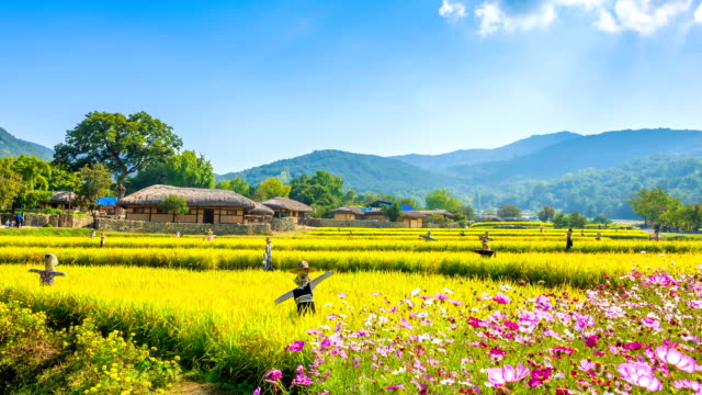shot of chogajip((thatched roof korean house) and rice paddy at oeam maul - halmtak bildbanksvideor och videomaterial från bakom kulisserna