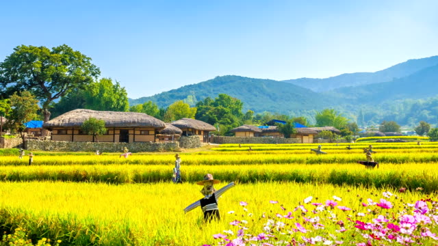 shot of chogajip((thatched roof korean house) and rice paddy at oeam maul - strohdach stock-videos und b-roll-filmmaterial