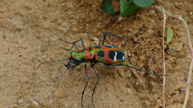 shot of cicindela chinensis has colorful pattern at the bottom - beetle stock videos & royalty-free footage