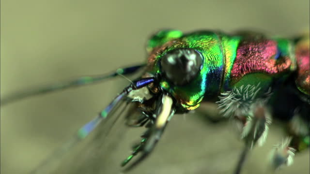 shot of cicindela chinensis's face - zoology stock videos and b-roll footage