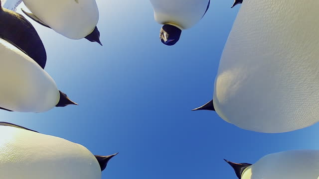 vidéos et rushes de cu la shot of circle of emperor penguins on snowfield in sunlight light / dumont d urville station, antarctica, antarctica  - manchot