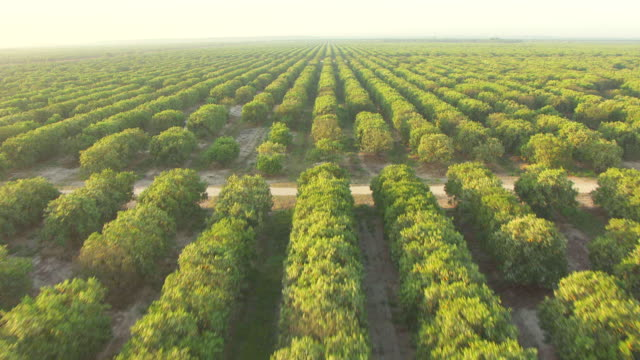 ms aerial shot of citrus groves to ws of citrus groves in collier county / florida, united states - wäldchen stock-videos und b-roll-filmmaterial